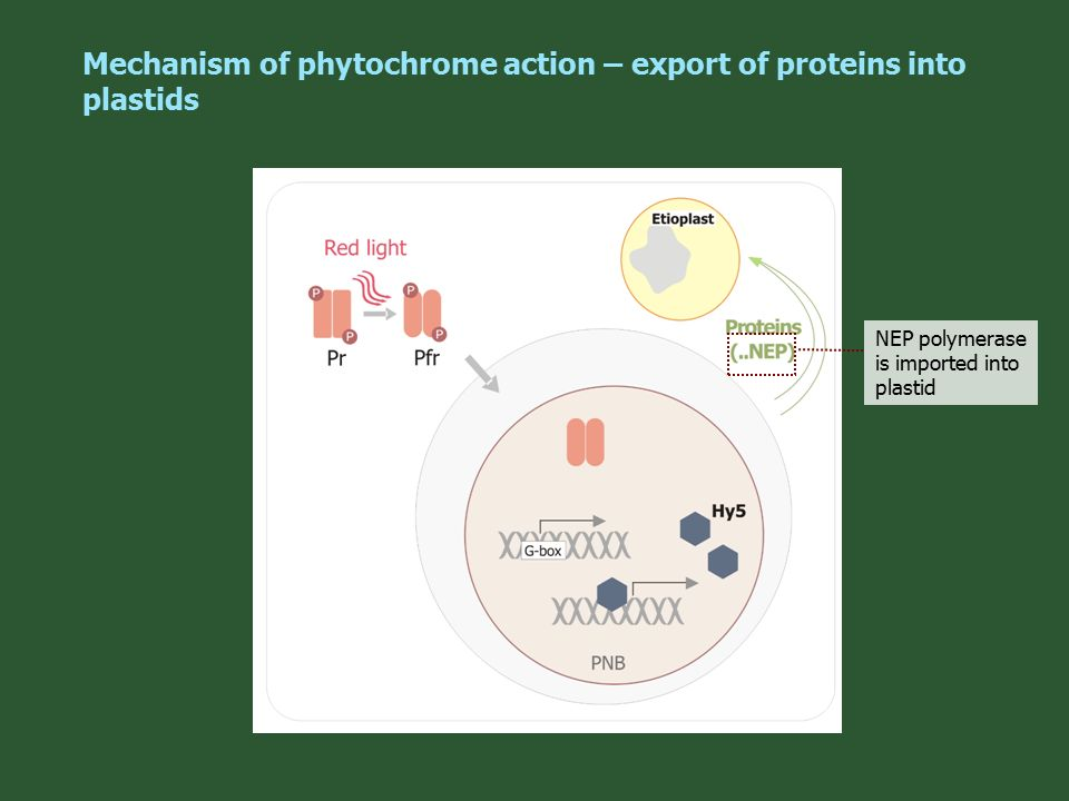 the roles of phytochromes and cryptochromes Phytochromes, two cryptochromes, one phototropin, and one superchrome1 that light plays a major signaling role in plant development is not surprising phytochromes and those pursuing distinct blue-light receptors.