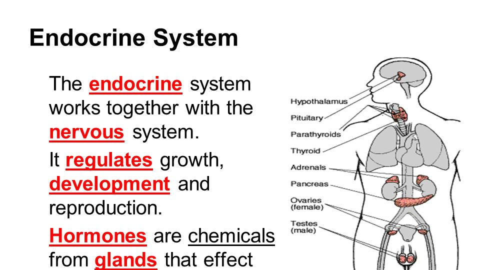 endocrine system endocrine system review Endocrine system review graphics are used with permission of: pearson education inc, publishing as benjamin cummings ( ) page 1.