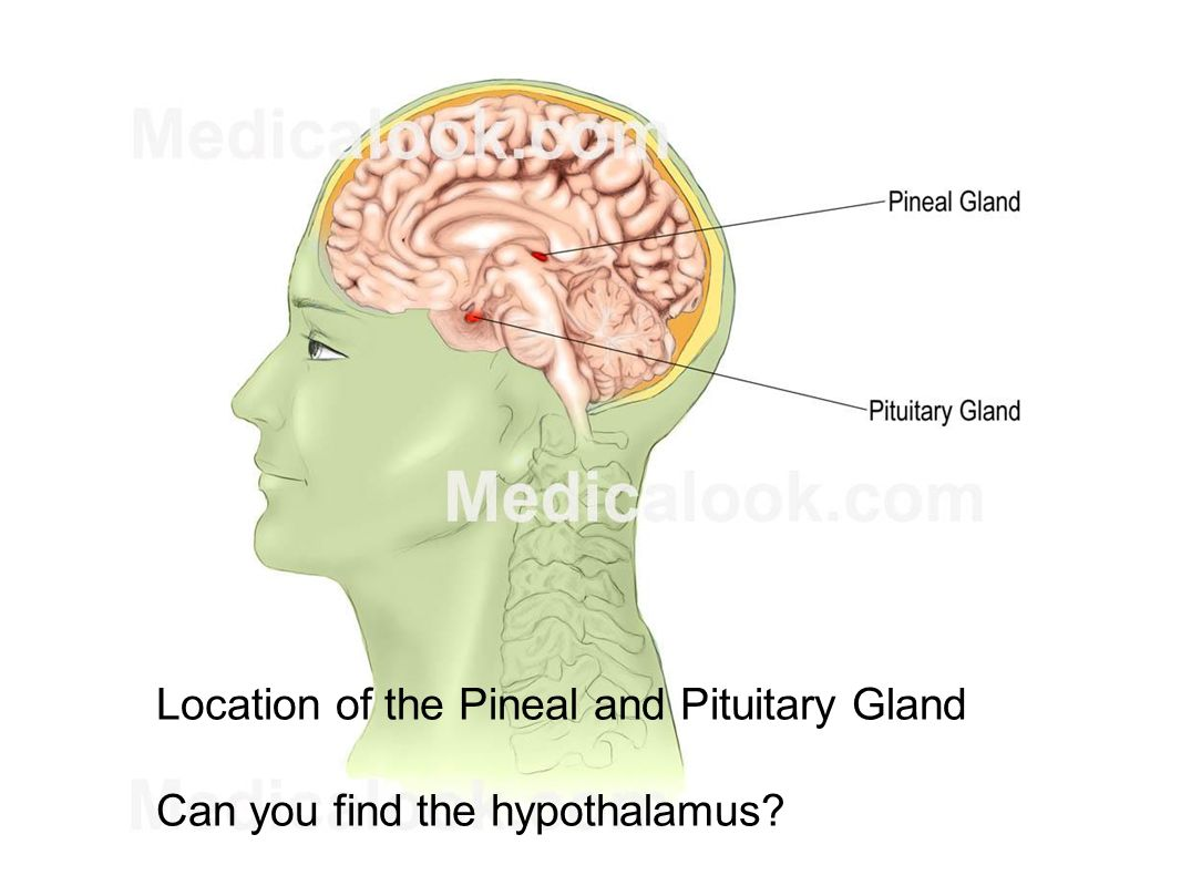 Luxury Where Is Pituitary Gland Illustration - Human Anatomy Images ...