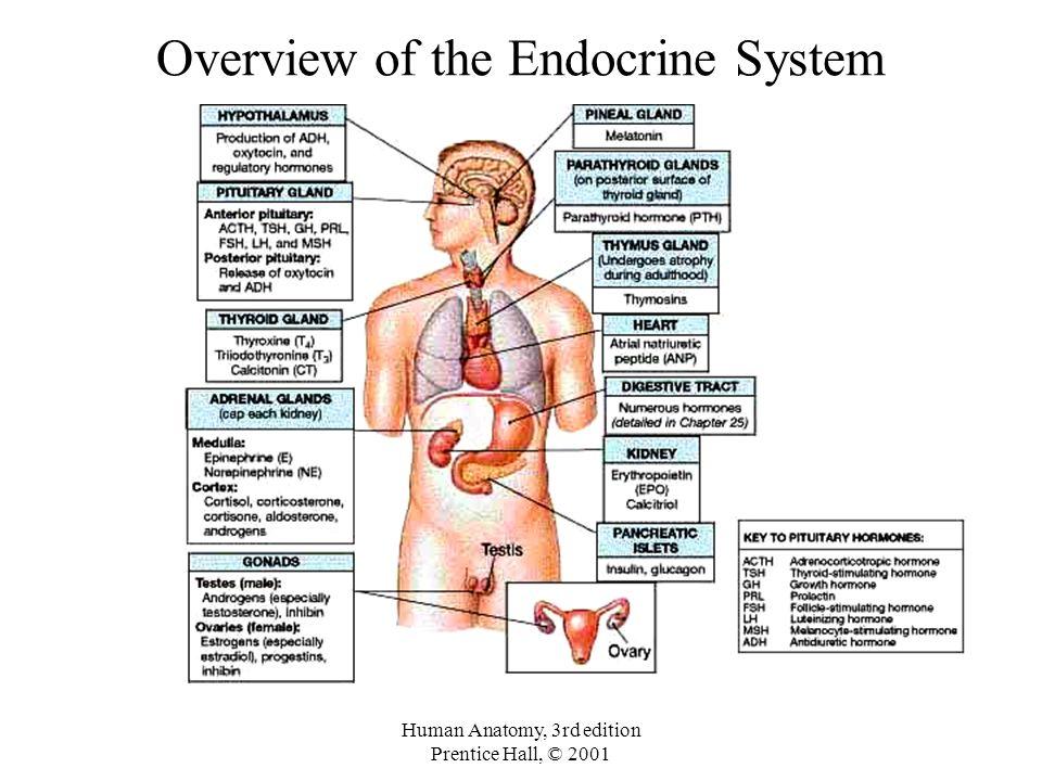 Moderno Human Anatomy Endocrine System Componente Imgenes De