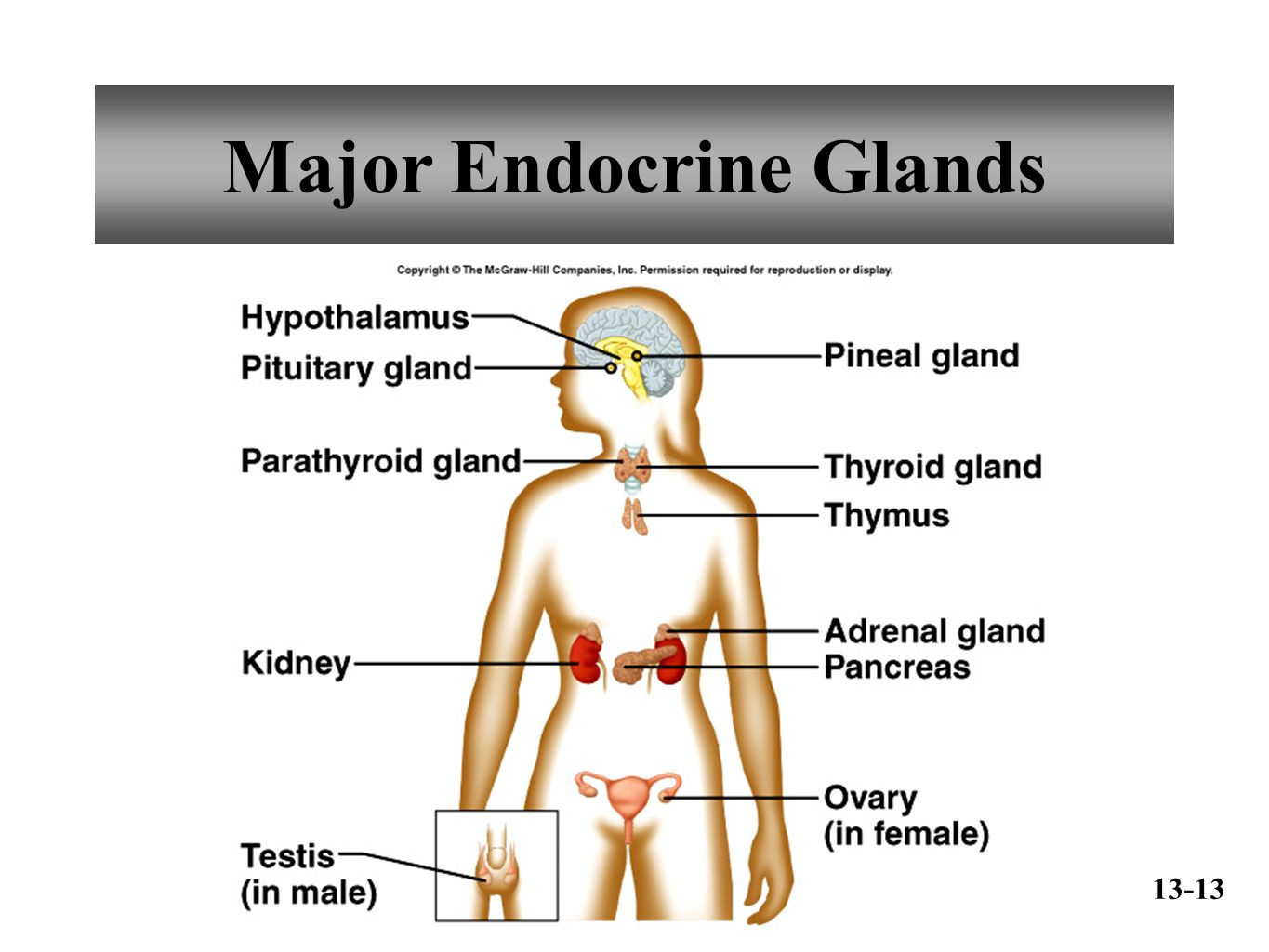 a description of the majod glands that make up the endocrine system