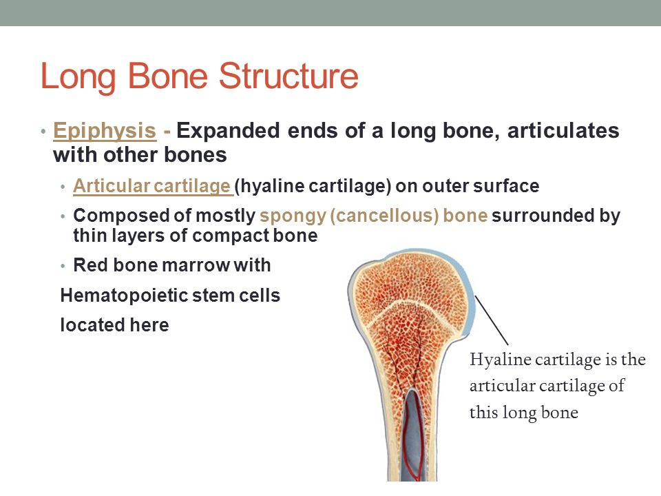 Fantastic Anatomy And Physiology Of Bone Marrow Mold - Anatomy Ideas ...