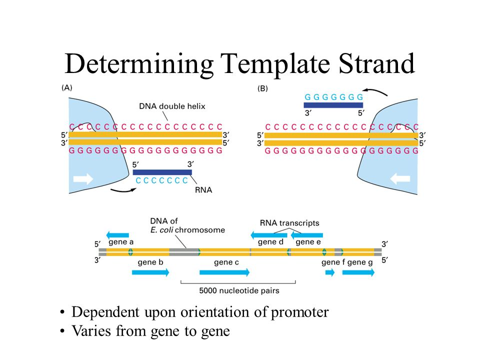 Central dogma how all cells express genetic information for What is a template strand