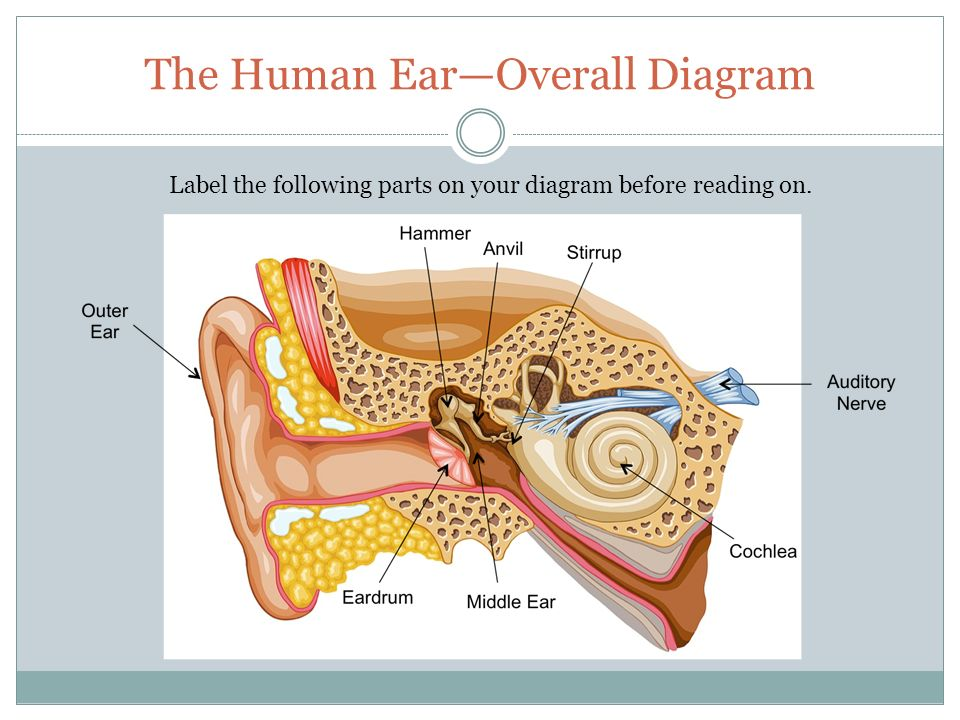 How you hear sound the function of the ear is to gather sound the human earoverall diagram ccuart Gallery