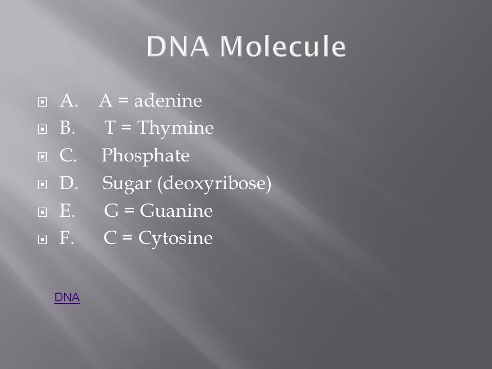 DNA Molecule A. A = adenine B. T = Thymine C. Phosphate