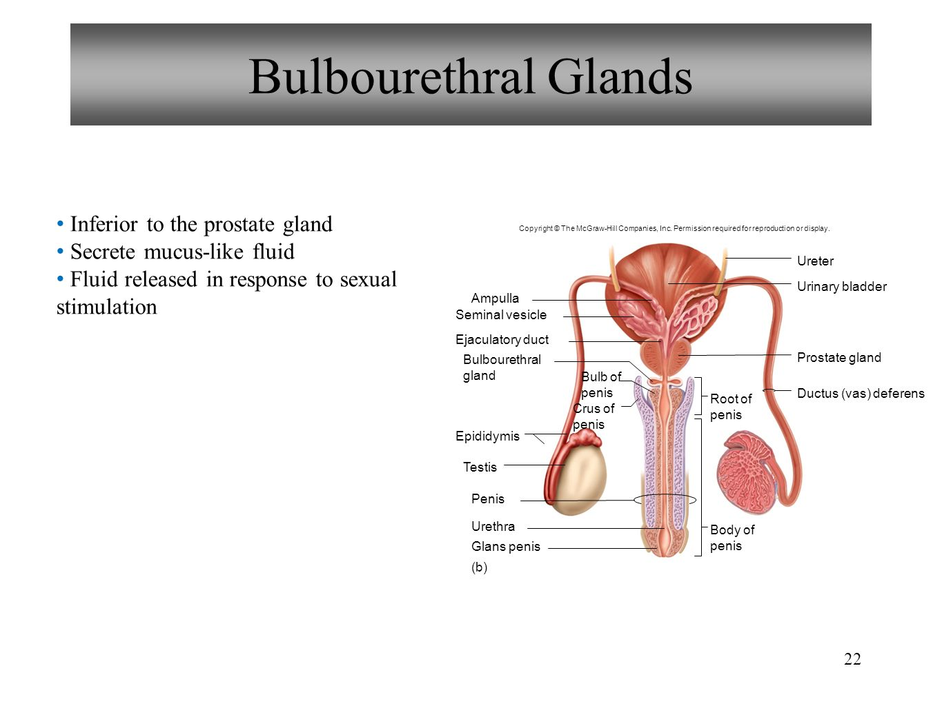 Prostate gland anatomy images