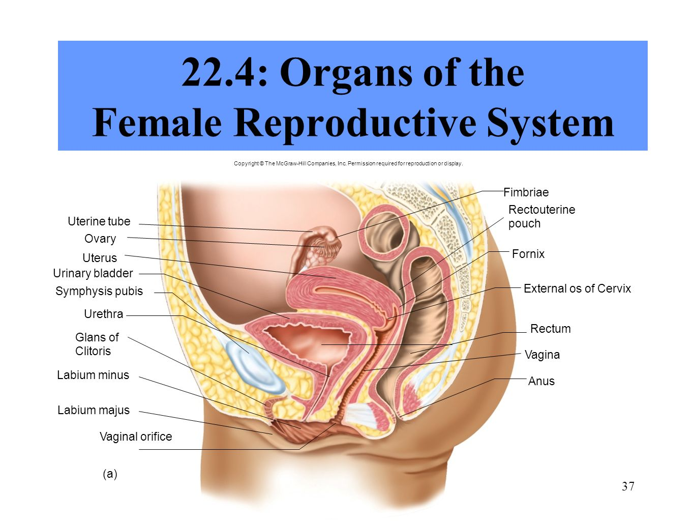 Human anatomy reproductive system