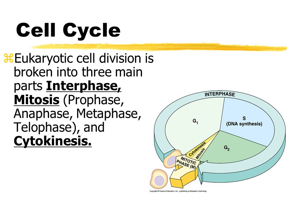 cell cycle and cell division pdf