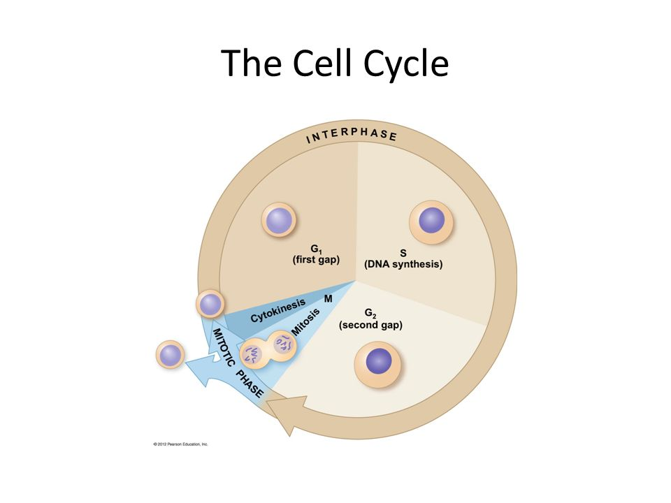 the cell cycle The cell cycle or cell-division cycle is the series of events that take place in a cell leading to its division and duplication of its dna (dna replication) to produce two daughter cells in bacteria, which lack a cell nucleus, the cell cycle is divided into the b, c, and d periods the b period extends from the end of cell division to the.