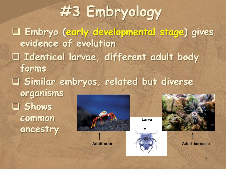 #3 Embryology Embryo (early developmental stage) gives evidence of evolution. Identical larvae, different adult body forms.