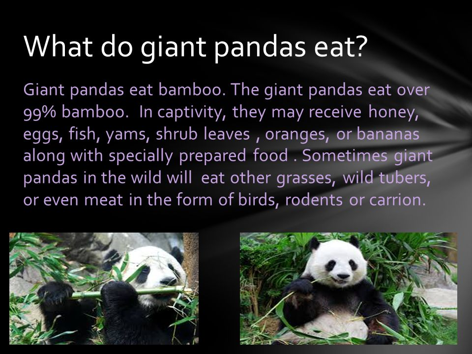Endangered animal giant panda ppt video online download for What do wild fish eat