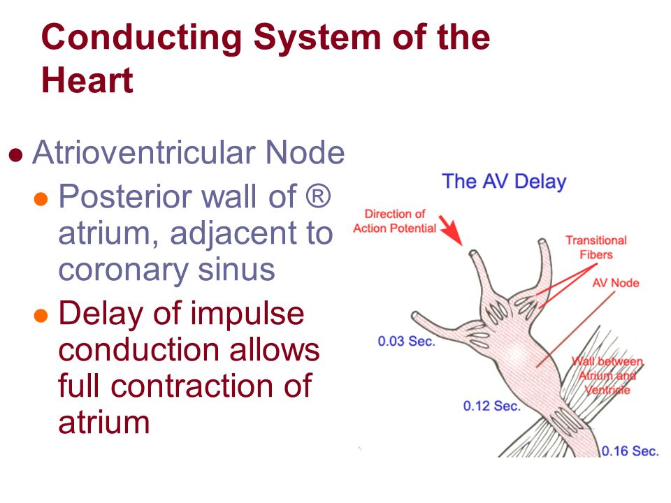 guyton the heart Vagolytic because they inhibit the action of the vagus nerve on the heart, gastrointestinal tract and other organs anticholinergic drugs increase heart rate and are used to treat bradycardia (slow heart rate) and asystole, which is when the heart has no electrical.