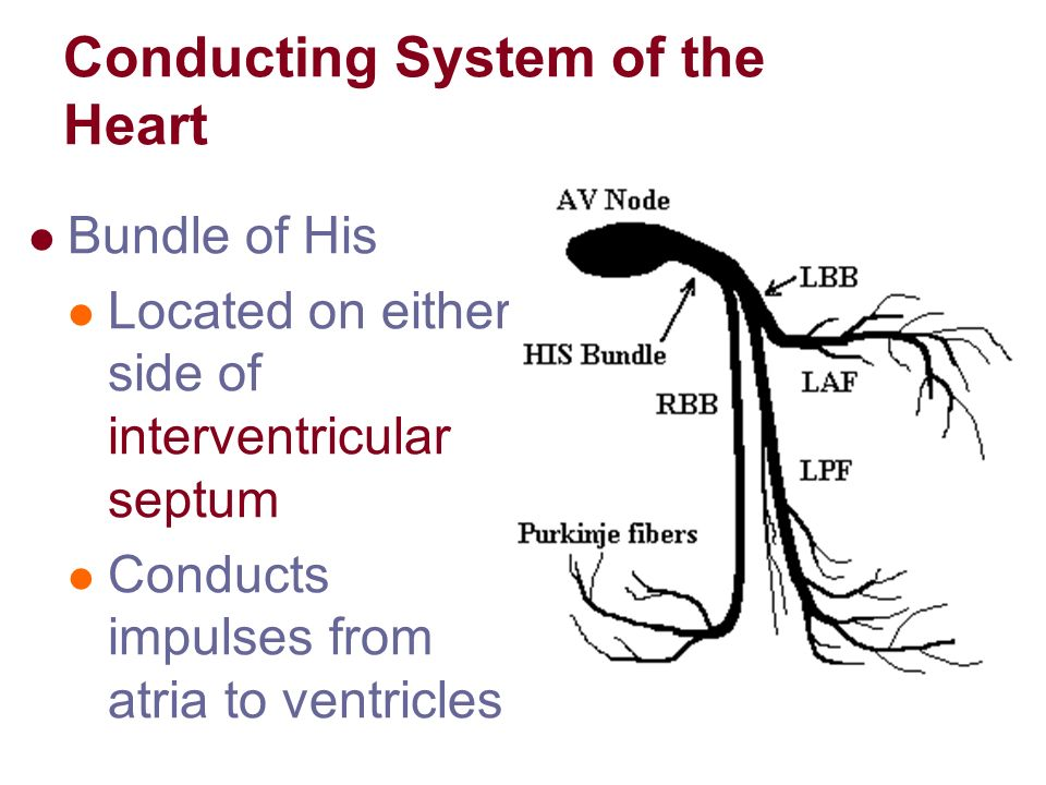 conducting system of heart physiology pdf