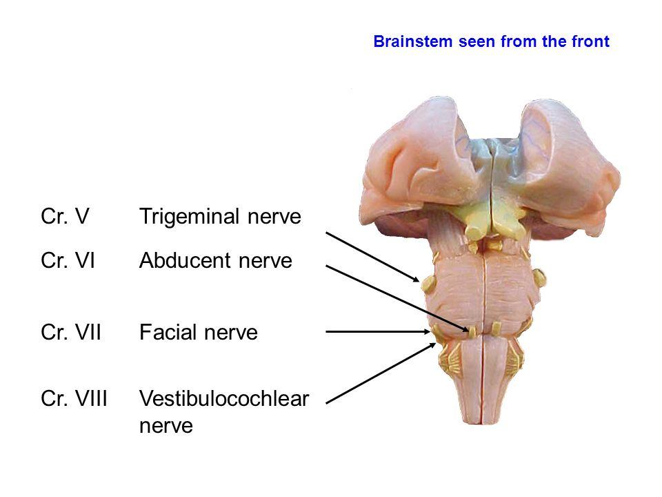 Vestibulocochlear or viii cranial nerve essay Research paper ...