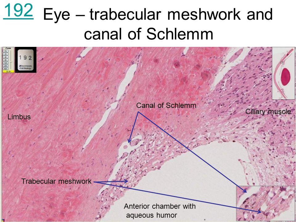 Trabecular meshwork anatomy