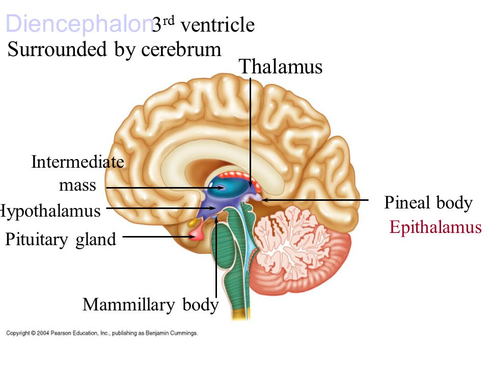epithalamus diagram - photo #9