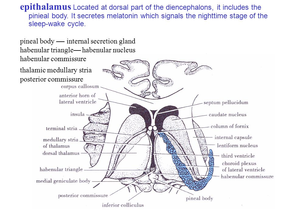 epithalamus diagram - photo #34