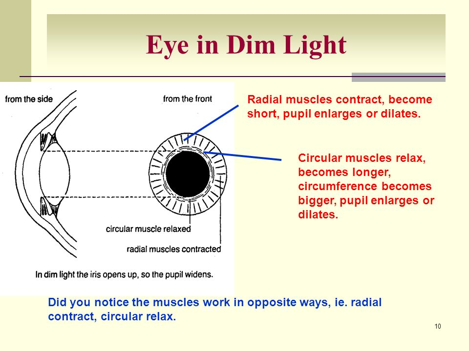 Eye in Dim Light Radial muscles contract, become short, pupil enlarges or dilates.