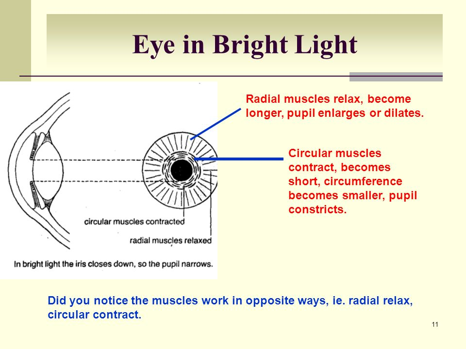 Eye in Bright Light Radial muscles relax, become longer, pupil enlarges or dilates.