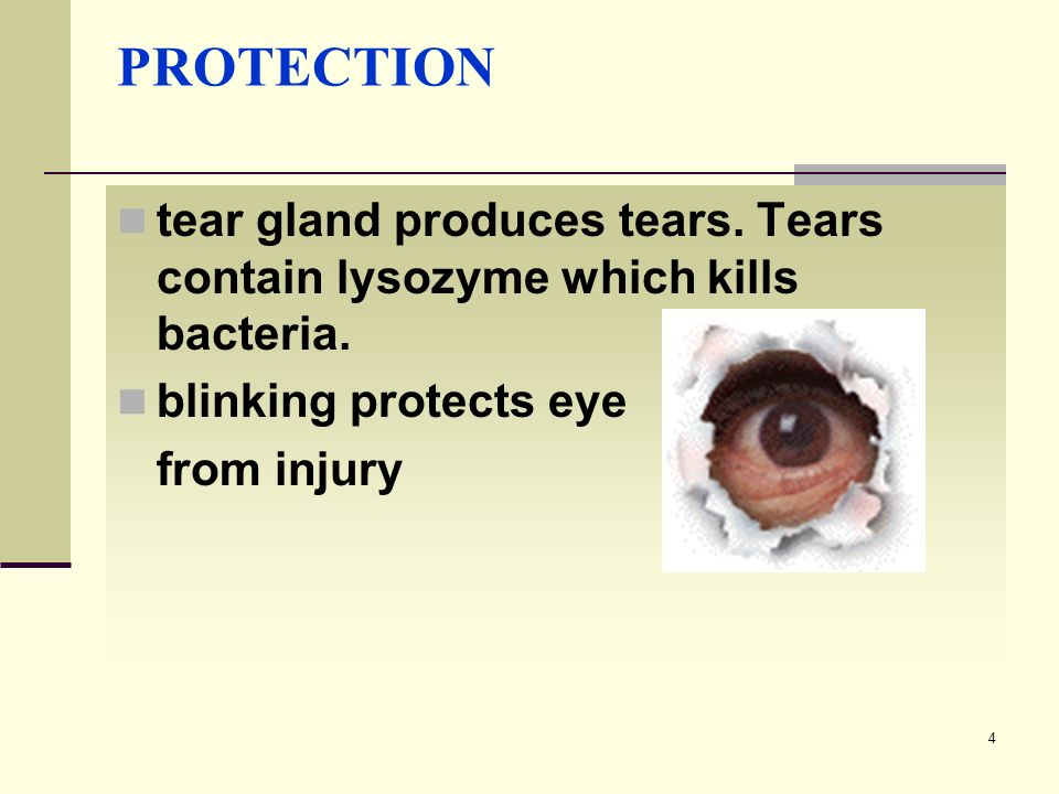PROTECTION tear gland produces tears. Tears contain lysozyme which kills bacteria. blinking protects eye.