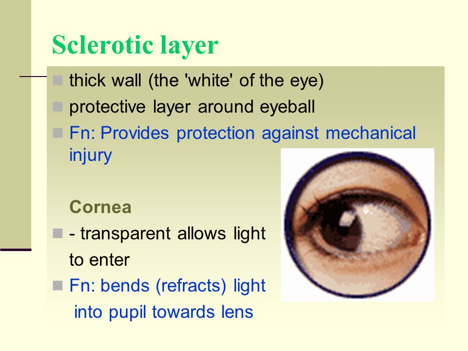 Sclerotic layer thick wall (the white of the eye)