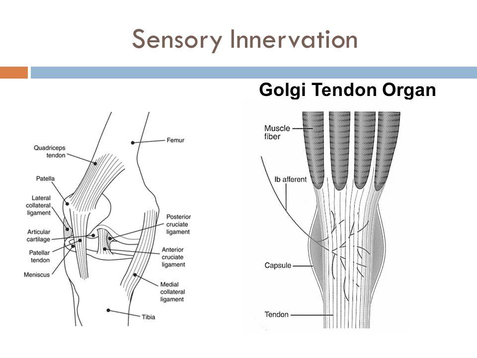 Golgi Tendon Organ Lumbar Spine