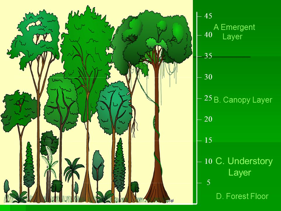 C. Understory Layer 45 A Emergent Layer 40 35 30 25 B. Canopy Layer  sc 1 st  SlidePlayer & A Powerpoint Presentation by Mrs.Meadows - ppt video online download