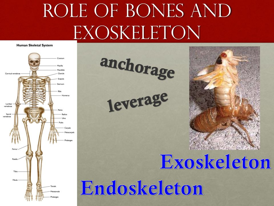 movement topic ppt video online download, Skeleton