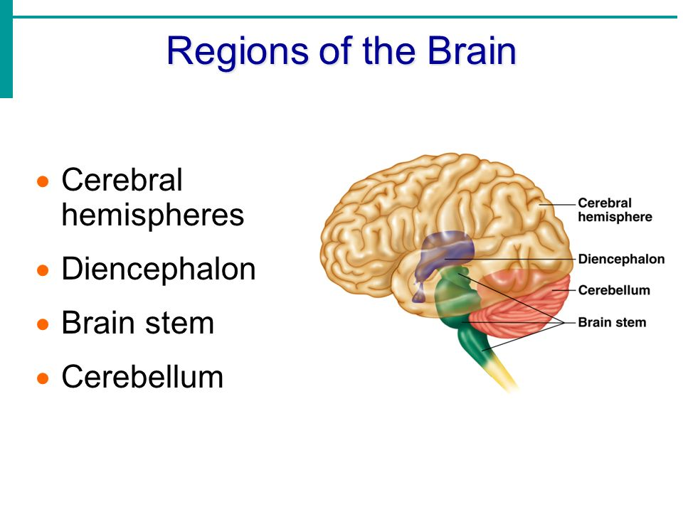 research on the brain hemispheres and the nervous system Title: hemispheres of the brain my account hemispheres  right brain] research papers  relationships between the structures of the nervous system and a.