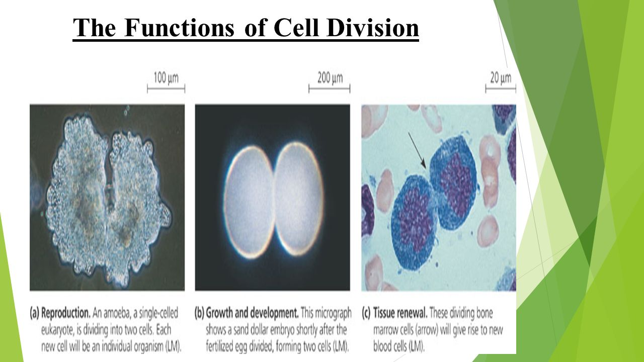 cells functions This animation shows you the function of plant and animal cells for middle school and high school biology, including organelles like the nucleus, nucleolus.