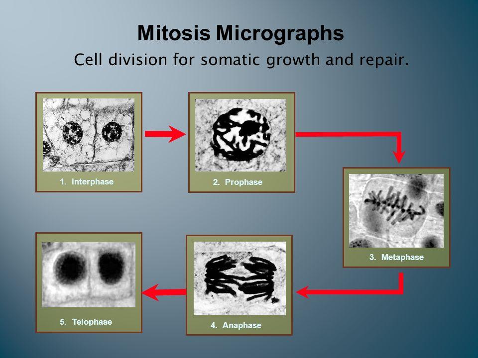 interphase-under-microscope