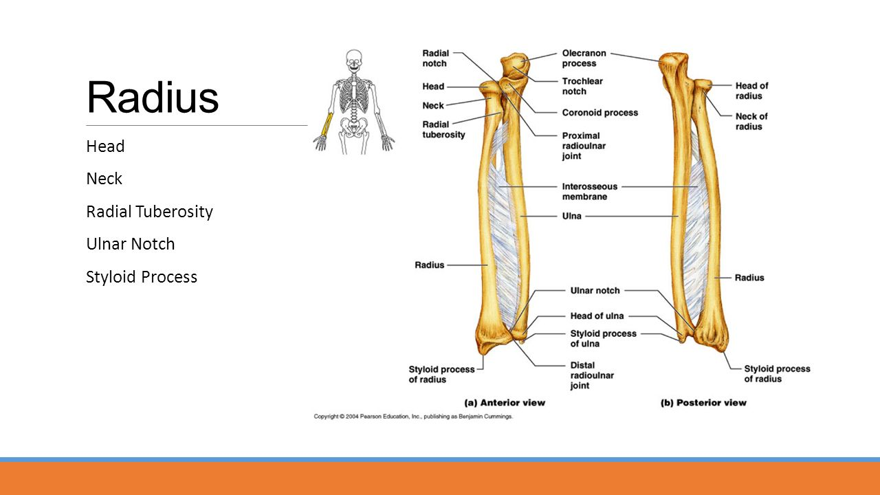 Elbow (humeroulnar) Joint - ppt video online download