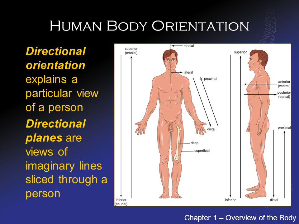 100   the human body an orientation coloring worksheet answers   anatomy and physiology   Chapter 1 The Human Body An Orientation Coloring Workbook Answers