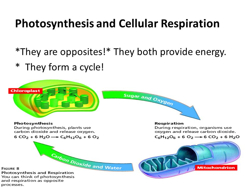 Difference Between Aerobic & Anaerobic Cellular Respiration Photosynthesis