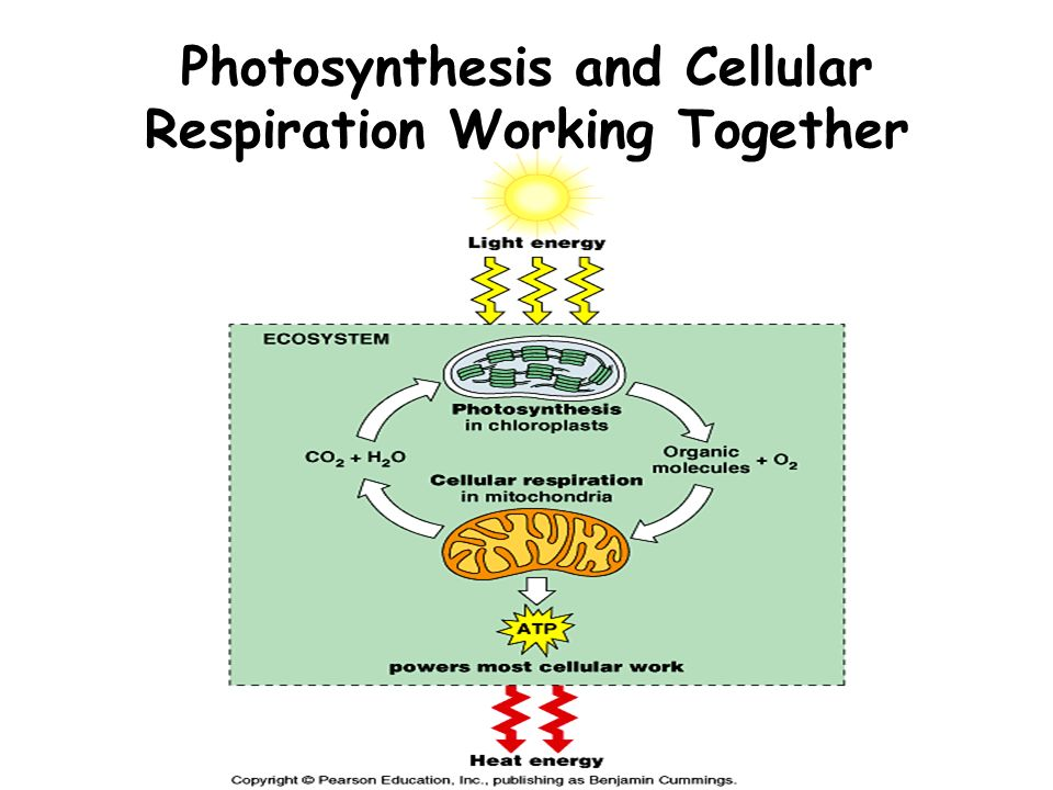 can photsynthesis and respiration occur in the same cell