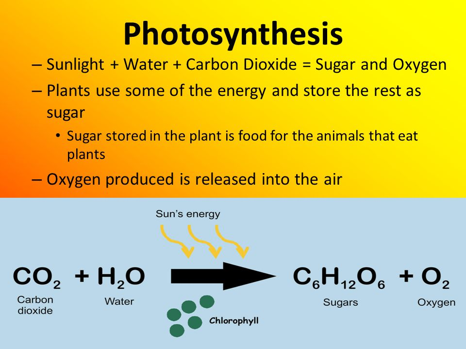 Photosynthesis Sunlight + Water + Carbon Dioxide = Sugar and Oxygen