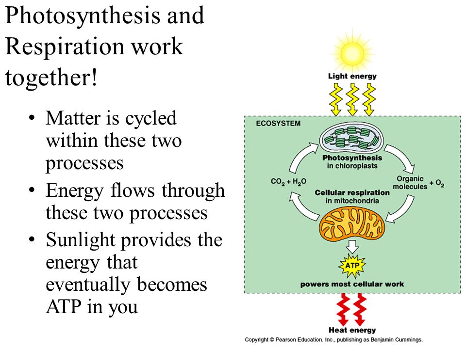 similarities between photosynthesis and respiration This is the same in cellular respiration there are very few similarities between - the effect of photosynthesis and respiration on the environment.