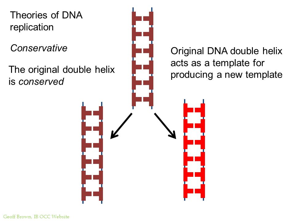 Dna structure and replication ppt video online download theories of dna replication pronofoot35fo Images
