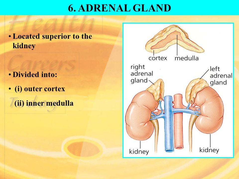 Adrenal Glands Location 2018 Images Pictures Endocrine Glands