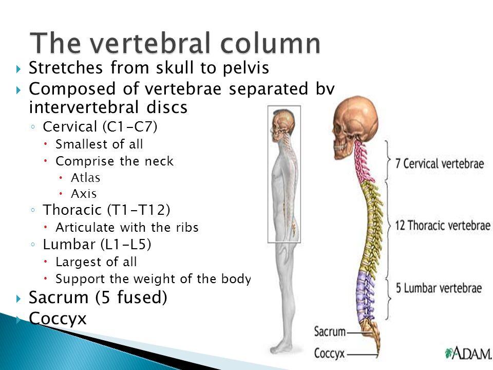 skeletal organization ppt video online download