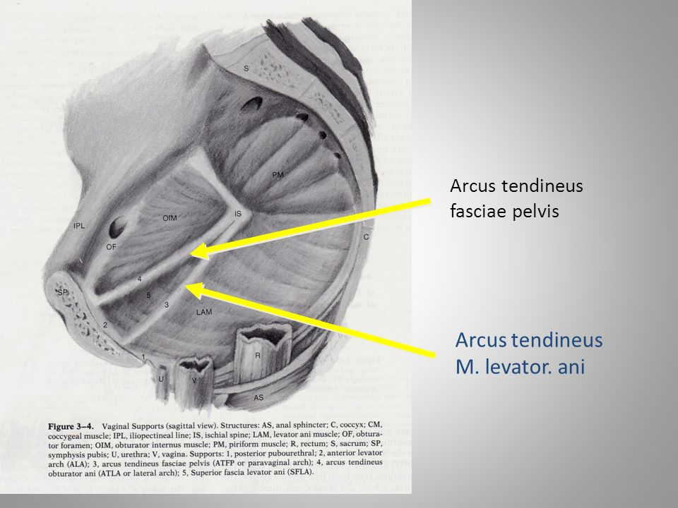 Pelvic ring anatomy