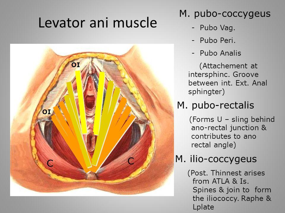 Anatomy Pelvic Floor Ppt Video Online Download