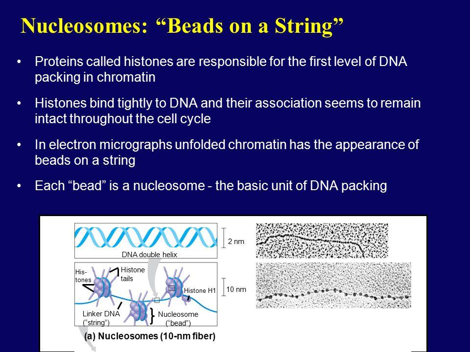 Eukaryotic Genomes. - ppt video online download