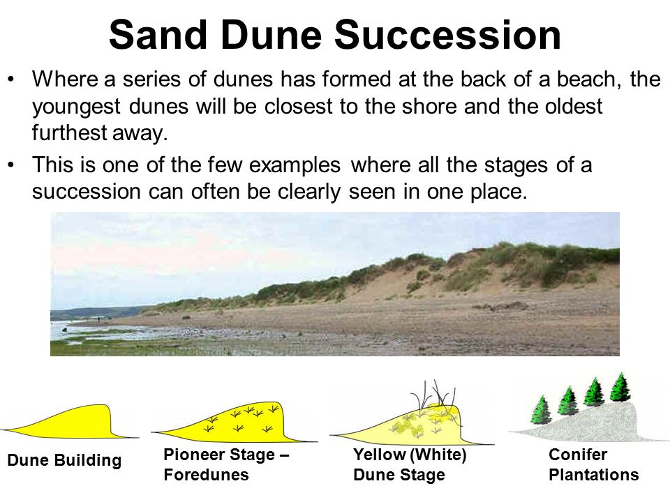 sand dune succession essay Management of succession present scientific arguments and ideas relating to the conservation of species and  sand dune, rocky shore, moorland, hedgerow,.