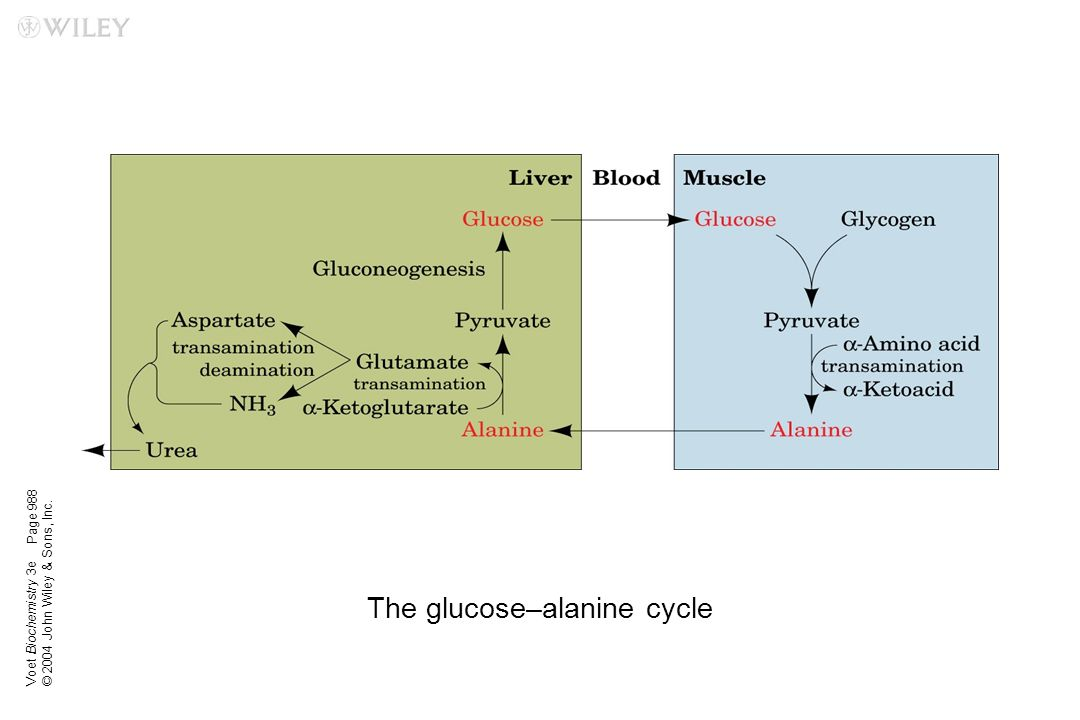 The glucose–alanine cycle