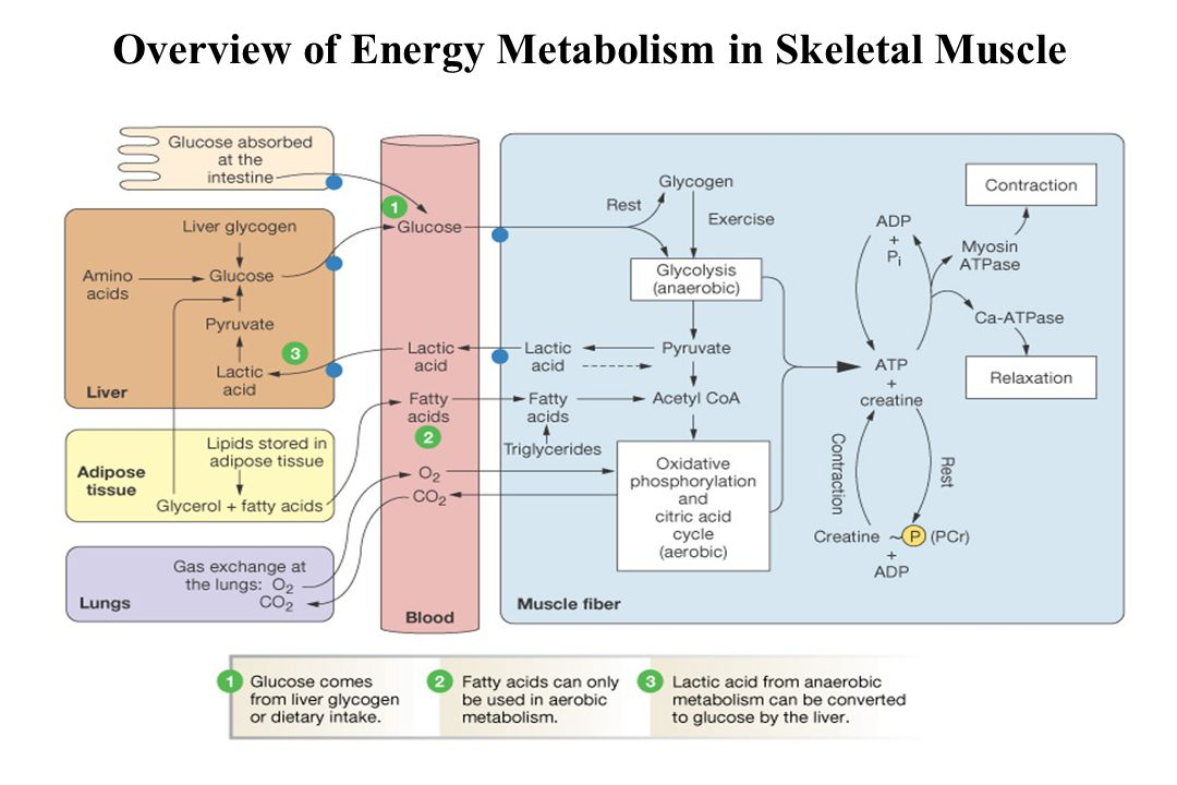 Overview of Energy Metabolism in Skeletal Muscle