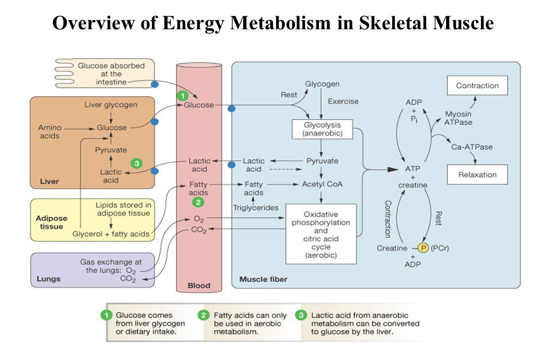 Overview of Energy Metabolism in Skeletal Muscle