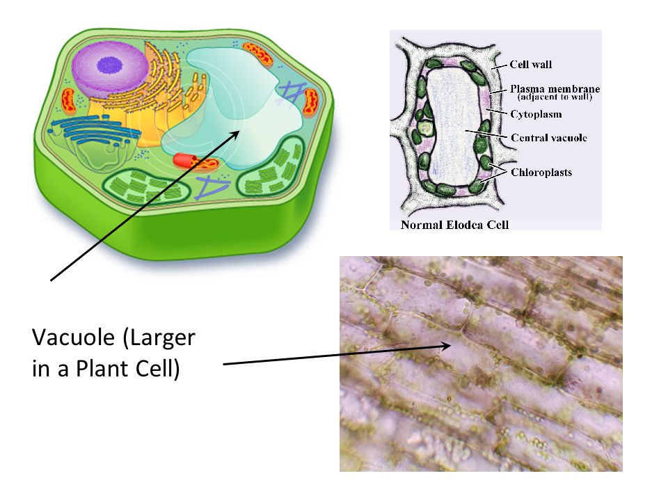 Images of Vacuole Plant Cell - #SpaceHero