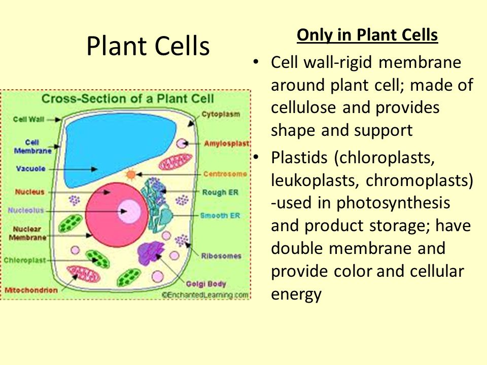 Cellular parts s7l2b relate cell structure cell membrane nucleus 2 plant ccuart Gallery