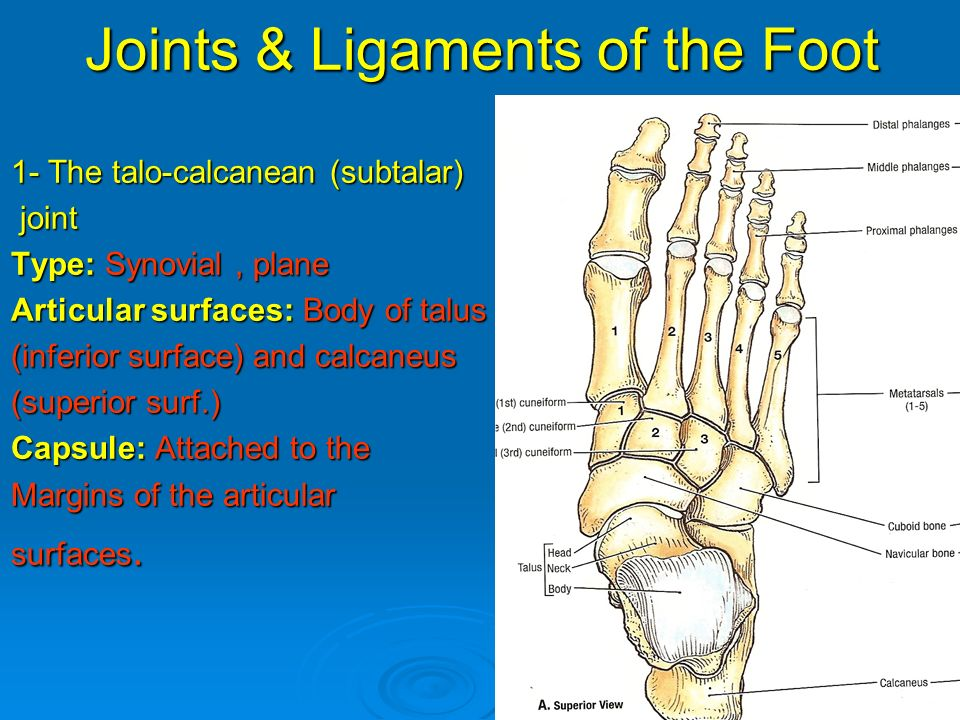 Anatomy of the foot joints 5664540 - follow4more.info